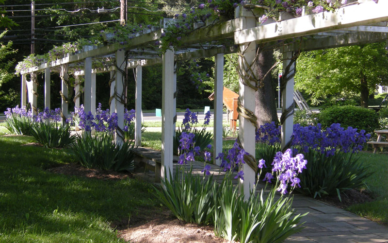 Beautiful purple irises by the arbor on the Museum Grounds