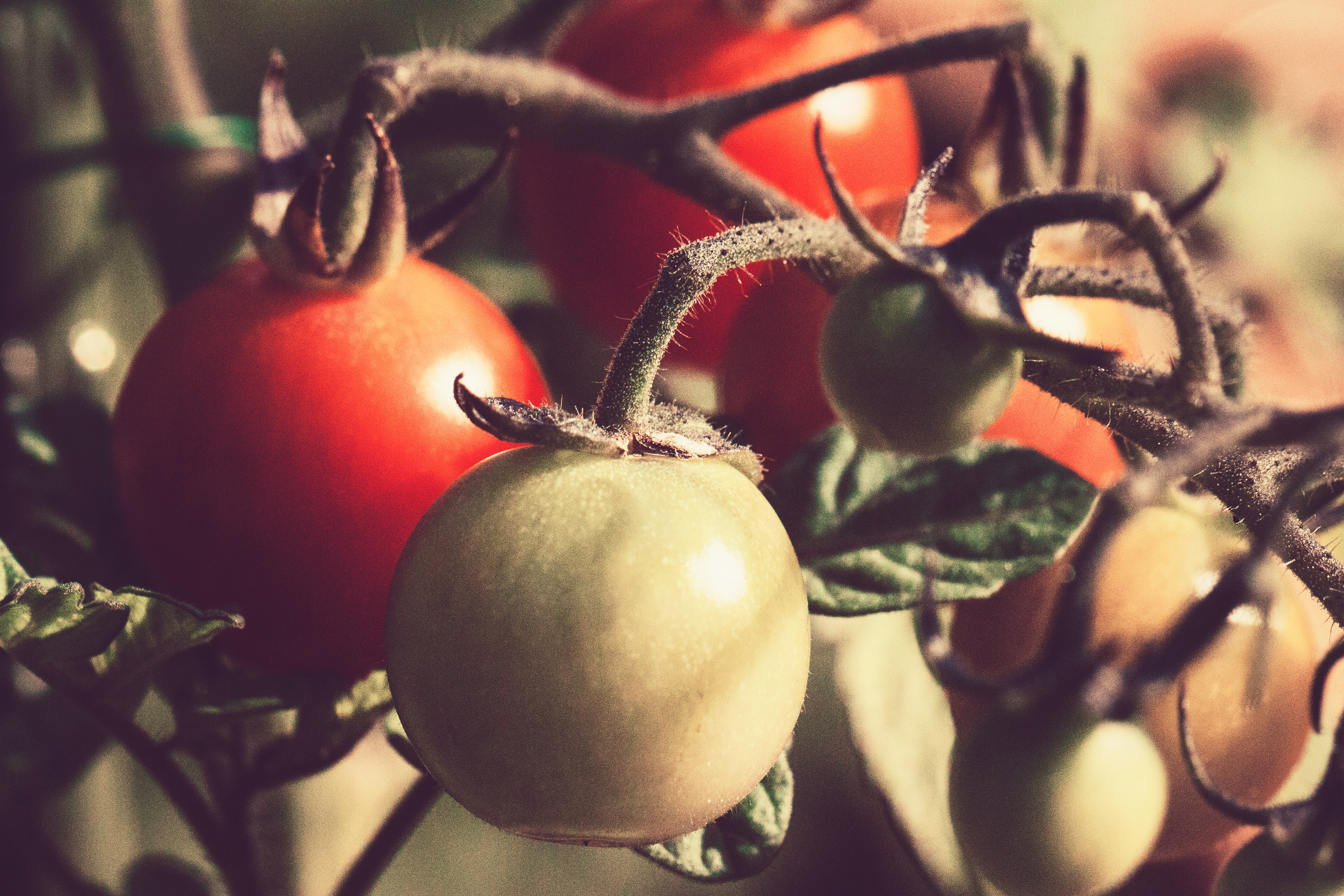 red and green tomatoes on the vine